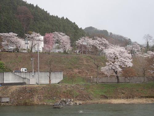 桜諏訪.jpg