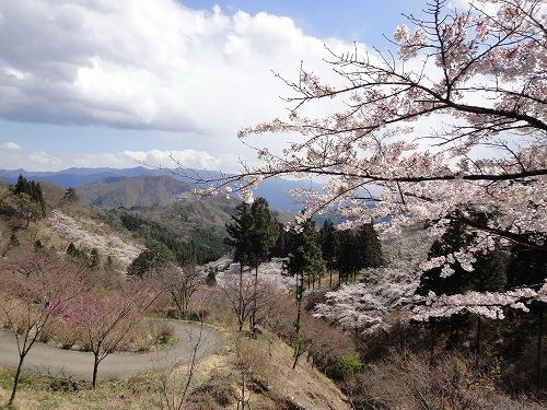 桜遠景.jpg
